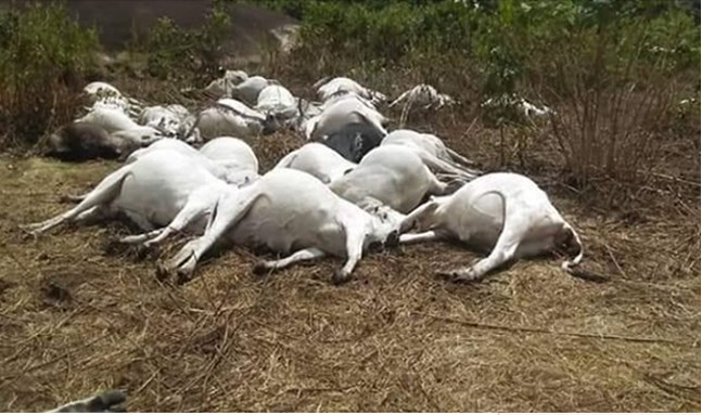 Image result for images of Death Of 36 Cows, Price For Herders' Killing Of 'Sacred Python'