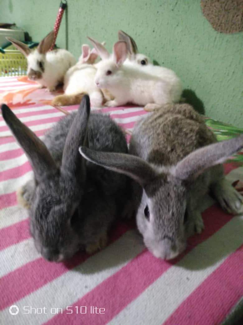 Rabbits For Sale!! - Agriculture - Nigeria