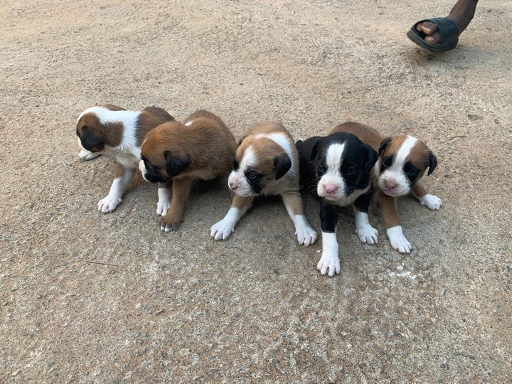 For Sale: Boxer Puppies [pics Attached] - Pets - Nigeria