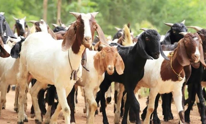 Jigawa empowers 440 women with 1,320 goats — but it's a loan