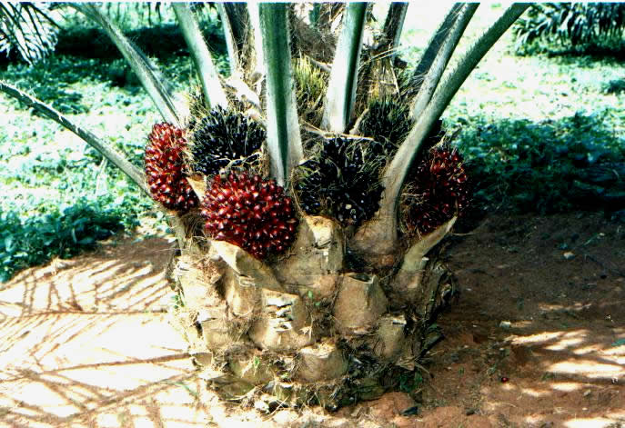 Starting An Oil Palm Plantation Agriculture Nigeria