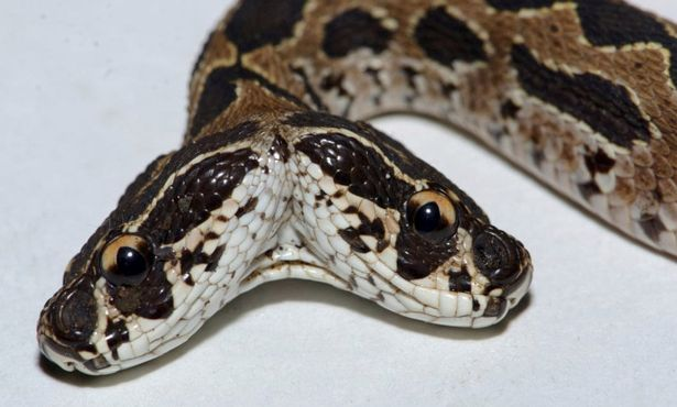 Two-Headed Russell Viper Discovered In India (Photos)