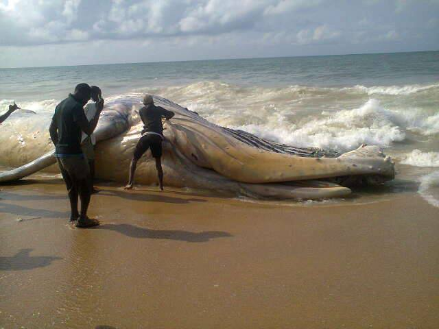 Mighty gigantic whale fish witness on alpha beach lagos for Land big fish
