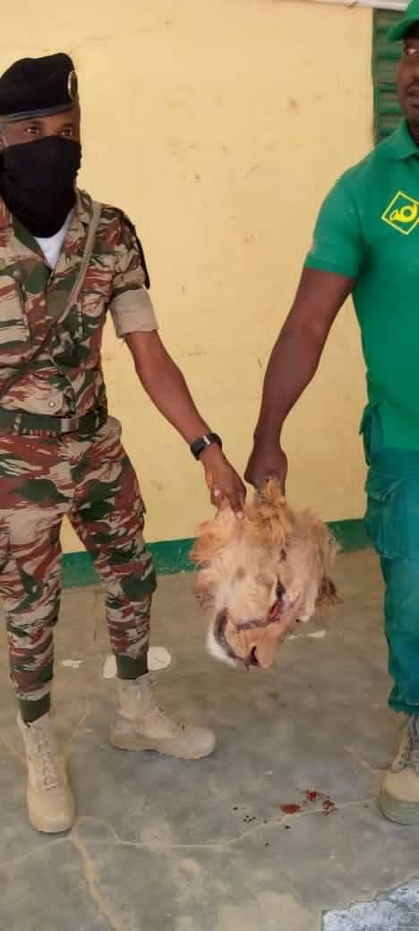 Lion Killed In Ngala, Borno