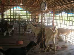 Cattle Fattening Goat Farming Dairy Farm For Small Holder