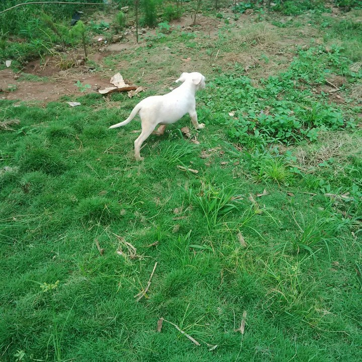 Dogo Argentino puppies for Sale and Brief History of Dogo ...