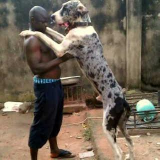 Pure Breed Greatdane Puppies Are Available For Sale Pets