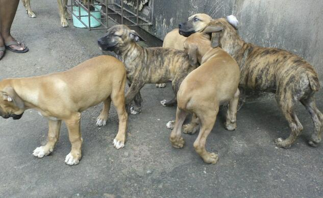 boerboel puppies for sale - pets