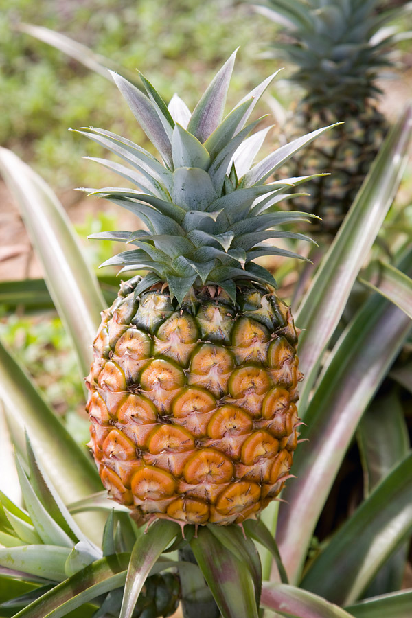 16 Tips to Start Pineapple Orchard Business in Akwa Ibom State