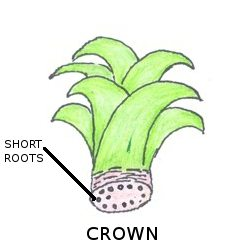 how to grow pineapple commercially in nigeria
