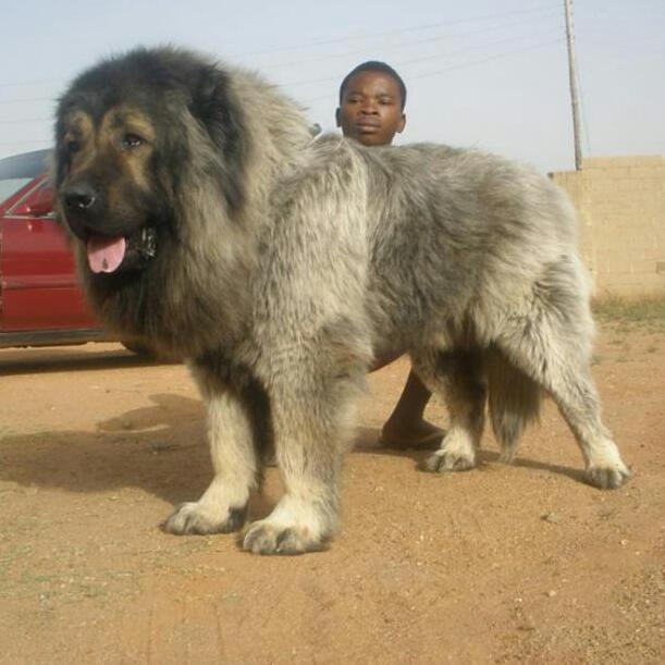Check Out Dis Adult Male Caucasian Dog! - Pets - Nigeria