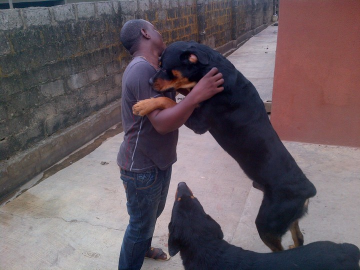 Full Breed Rottweiler Puppies For Sale At Affordable Prices Pets
