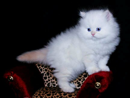 Cute persian kittens for sale in lahore