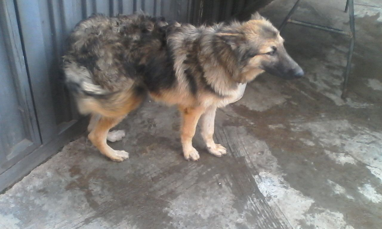 My Female GSD Is Refusing To Mate With Male Dogs What ...