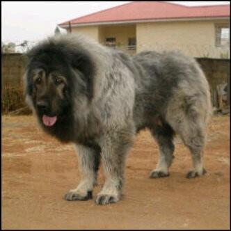 Popular Dogs In Nigeria And Their Breed Info Pics Pets