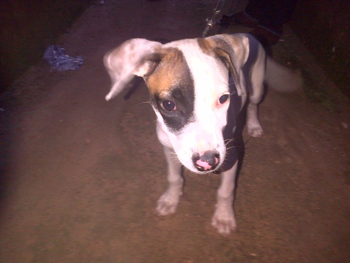 4 Months Old Razor Edge Imported American Pitbull Terrier For Sale