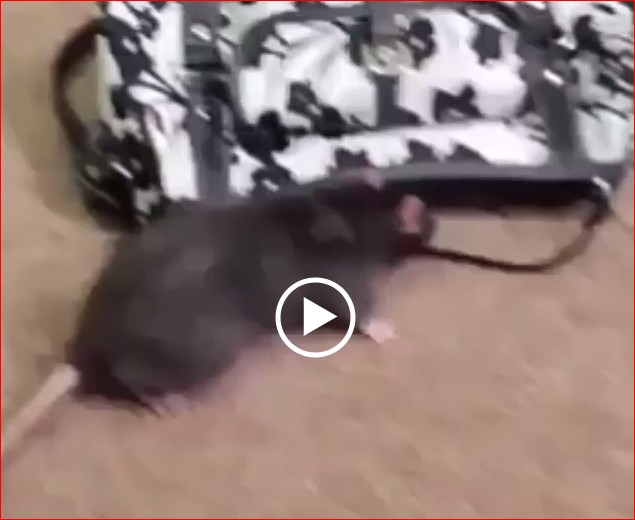 Http Www Ekeismyhobby 2016 01 20 Omo You Need To See This Video Of A Rat Stealing Dollars
