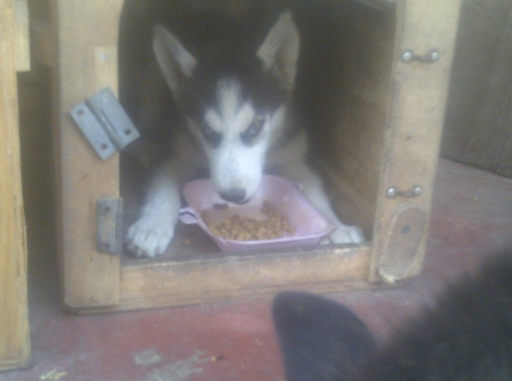 Imported Siberian Husky Puppies For Sale At Reduced Rate Pets