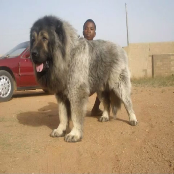 5 Largest Dog Breeds In Nigeria Pets Nigeria