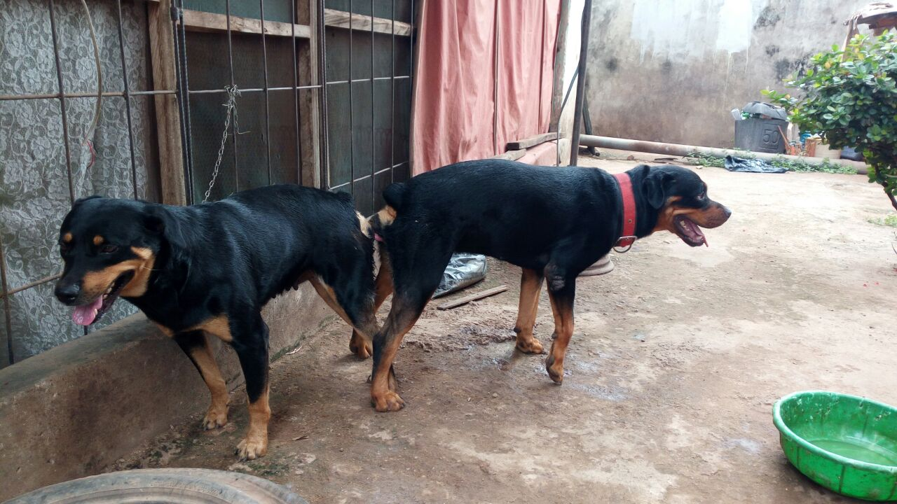 Purebred Rottweiler Puppies For Sale Pets Nigeria