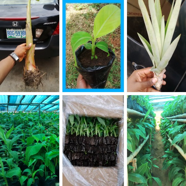 SAMPLE OF A PLANTAIN PLANTATION BUSINESS PLAN