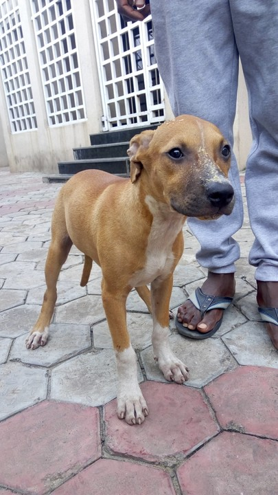 3 Months Old Female American Pitbull Terrier Puppy For Sale Pets