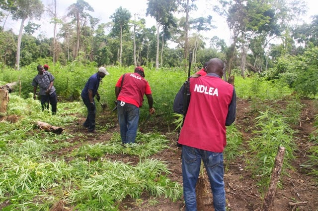 NDLEA Destroys 21 Hectares Of Cannabis In Osun