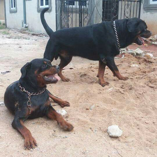 Rottweiler mix boerboel – Dogs in our life photo blog