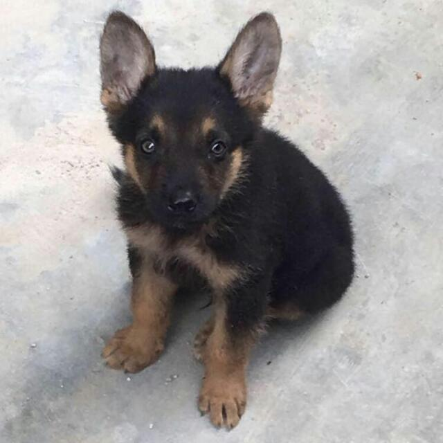 Solid Male German Shepherd Puppy Up For Sale Pets Nigeria