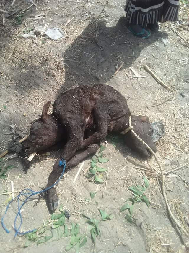 See Photos Of A Baby Cow With 2 Heads Found In The North That Have Got People Talking