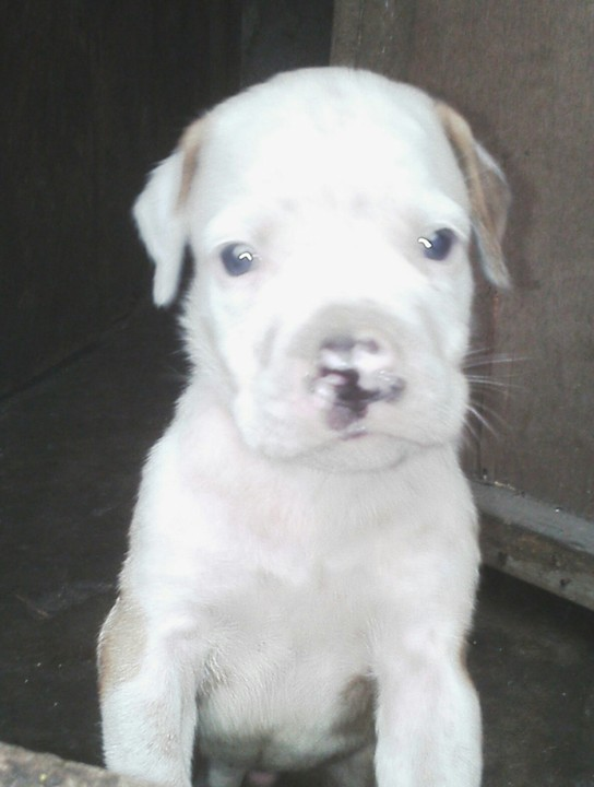 American Bulldog Puppy For Sale In Ph Male Pets Nigeria