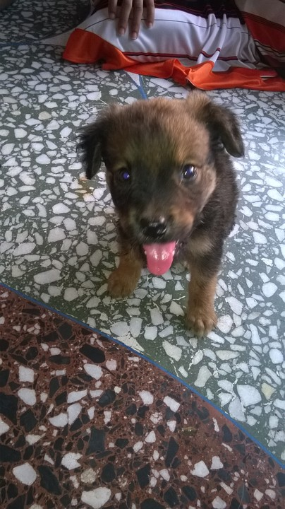 My Pitbullrottweiler Cross Breed Pets Nigeria