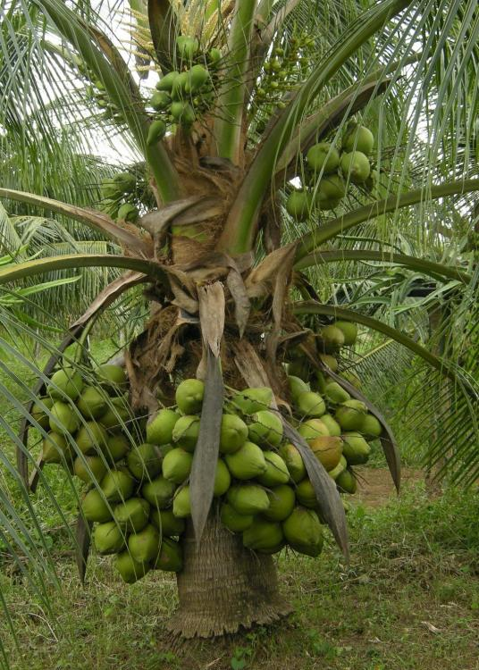 Economical Tree Crops Seedlings Available For Sale ... Soursop Tree In Kerala