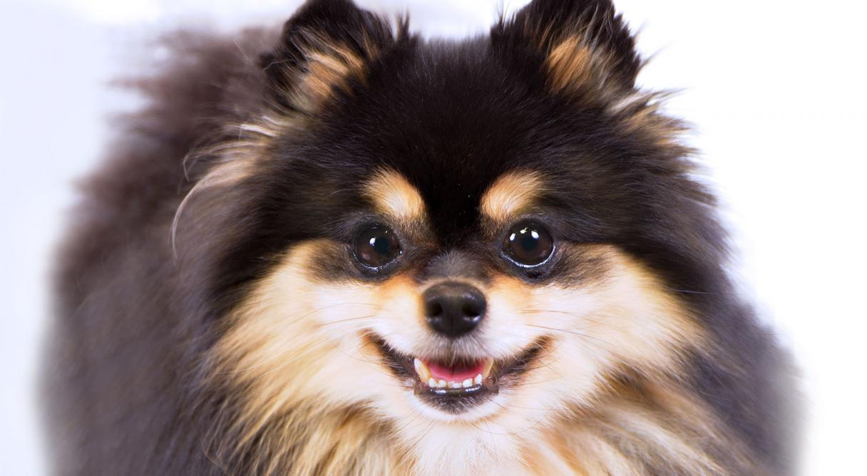 pomeranian dog breed information and pictures - 1200×659