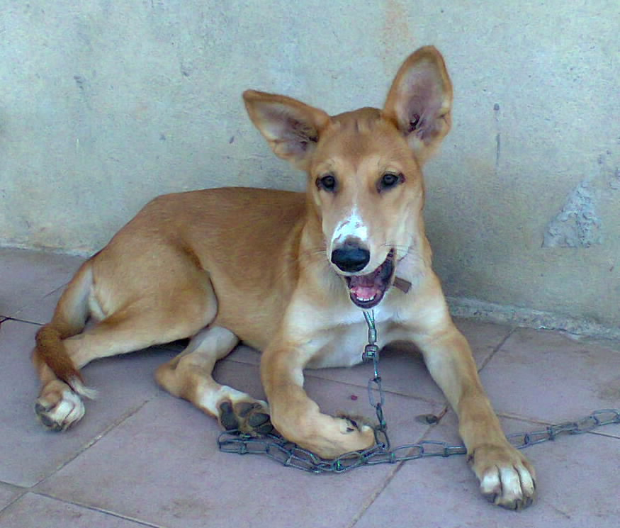 My Africanis Breed Africas Hunting Dog 3months Old