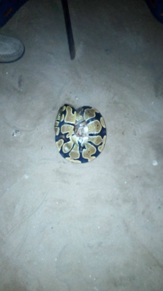 See The Snake My Friend Uncle Killed For Her To Eat (photos) 5363095_1855737617413646994890006292268143934076404n_jpg0af1f2c3b42676374adeb2c01351c417