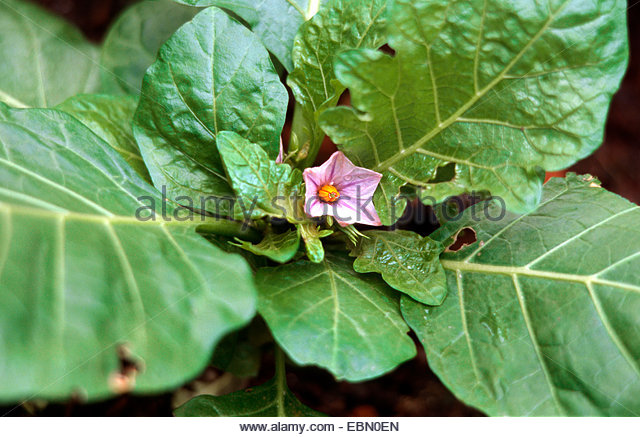 Kidney Failure: See Why You Have To Take Garden Egg Leaves. - Health ...