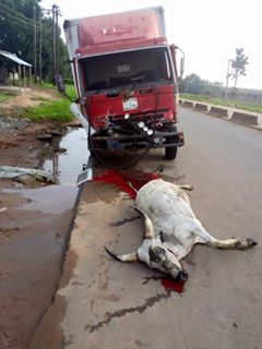 Accident Involving Cattle And A Truck In Benin City (Graphic Photos)