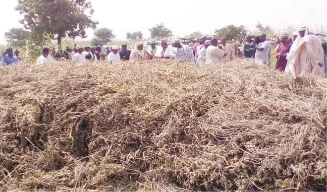 Kebbi Begins Massive Soya Beans Production (Photo)
