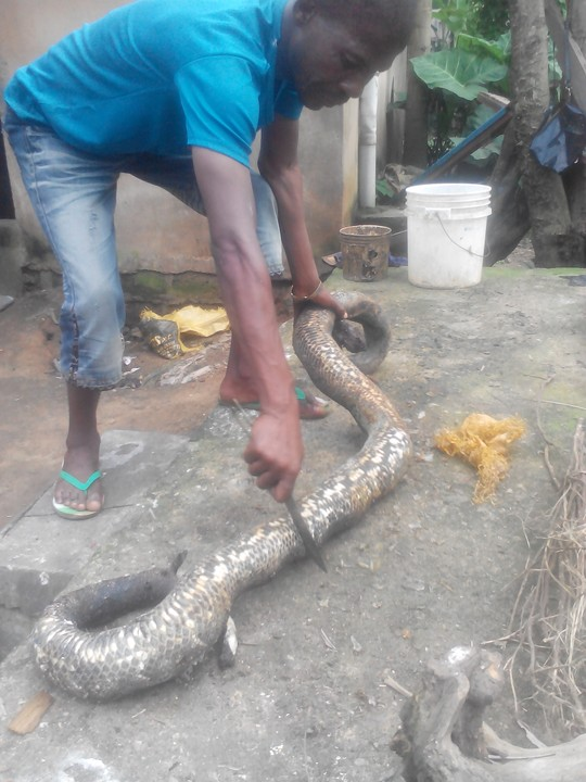 snake enthusiast killed by 8foot python he had owned - 480×640