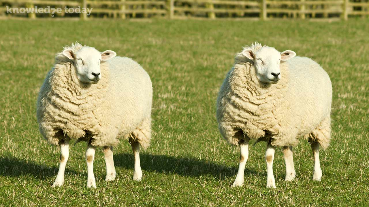 cloning dolly the sheep Teacher guide: you've come a long way dolly  key events in cloning using the birth of dolly the sheep as a reference  dolly the sheep was the fi rst.