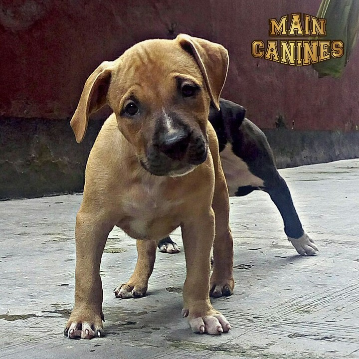 Main Canines' Pure Bred American Pit Bull Terrier Puppies For Sale