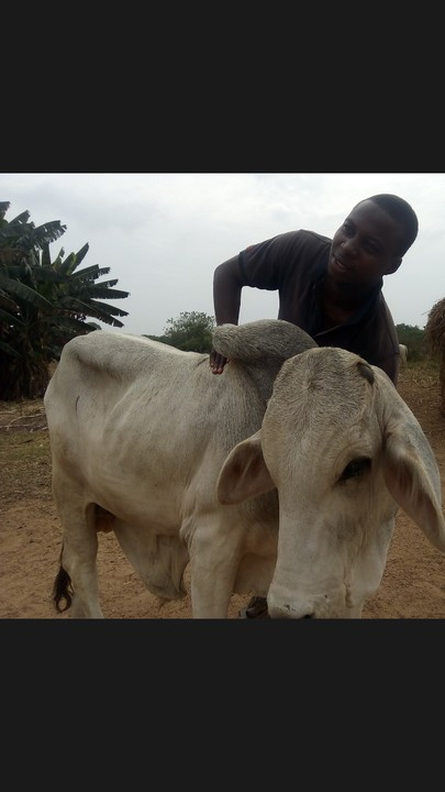Bull Fattening And Cattle Breeding @ As-sobur Farm - Agriculture (2)