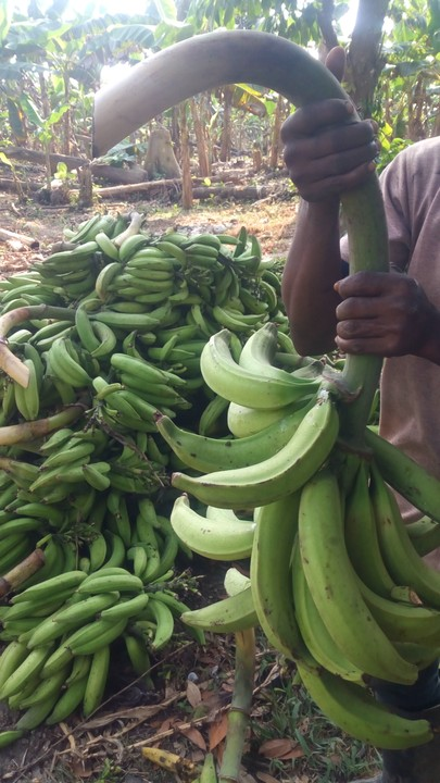 Hybrid Plantain suckers / How to set up plantain farm - Agriculture