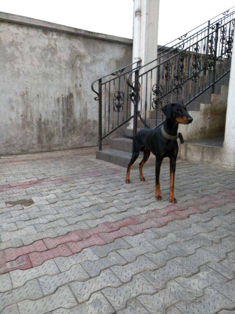 1 Like. Re: Top Adult male doberman for sale ...