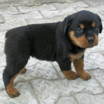 Buy A Loyal Security Pure German Rottweiler Puppies Available Now