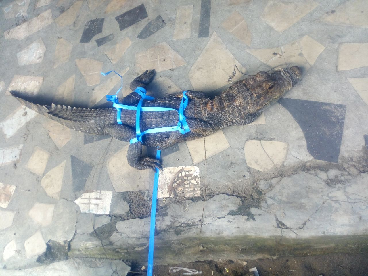See The Huge Monitor Lizard My Friends Trap Caught At ...