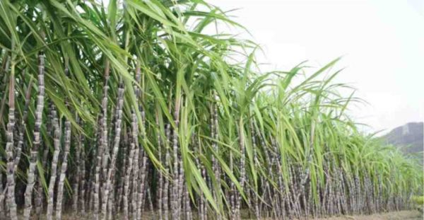 Sugarcane Business Booms In Plateau