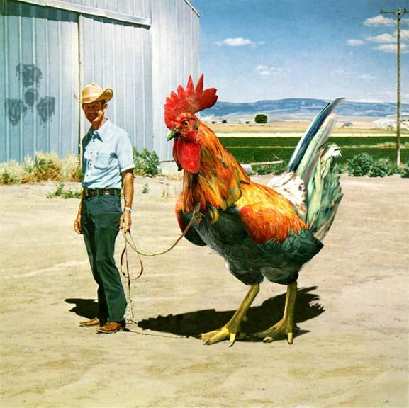 Man With A Very Big rooster - Jokes Etc - Nigeria