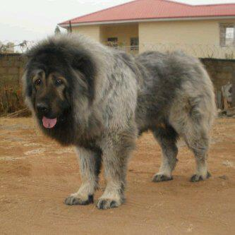 Caucasian Shepherd For Sale >> I Have A Pure Breed Puppies Caucassian,rot,neopoletan,mastive Dogs For Sale. - Pets - Nigeria